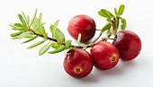 Four cranberries on the stalk against a white background