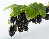 A bunch of blackcurrants with leaves, hanging against a white background