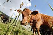 Angus-Rinder auf der Alp im Kanton Nidwalden, Schweiz