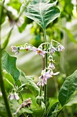 An aubergine plant with flowers in the garden