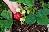 Hand greift nach reifer Erdbeere in Holzkiste