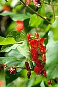 Feuerbohnenblüten an der Pflanze