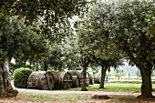 Olive plantation (Elba, Italy)