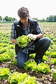 An organic farmer harvesting lettuce