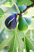 Fresh figs on the tree (close-up)