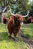 Scottish Highland cattle in the field