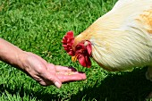 A chicken being fed grain