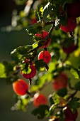 Red gooseberries on the bush