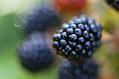 A blackberry on the bush (close-up)
