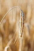 An ear of rye in the field (close-up)