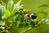 Unripe blueberries on the bush