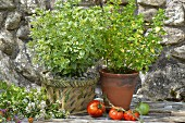 Two types of oregano in pots
