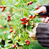 Hands cutting rose hips from the bush