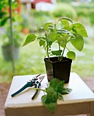 Plastic pot of basil and secateurs on stool in garden