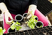 Taking lettuce seedlings and root balls out of plastic pots