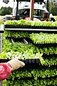 Rack of lettuce seedlings in plastic trays and tractor