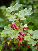 Close-up of redcurrants on twig