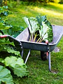 Rhubarb leaves on wheel-barrow