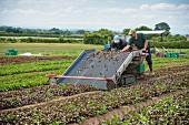 Workers harvesting vegetable