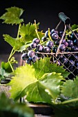 Black grapes in a wire basket and vine leaves