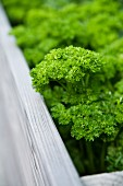 Curly parsley in a raised bed