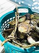 Oysters in a bucket, Sweden.