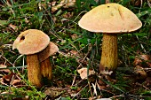 Lurid boletes in woodland