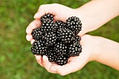 Blackberries held in a child's hands