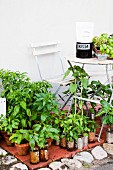 Young potted plants for sale