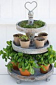 Kitchen herbs on a wooden plant stand