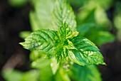 Mint (Mentha) growing in garden