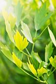 Lovage (Levisticum officinale) growing in garden