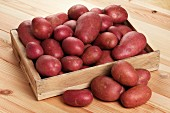 Red potatoes of the variety Rooster in a wooden box