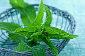 Peppermint (Mentha piperita) in a small wire basket