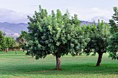 Carob trees