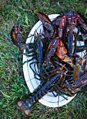 Fresh Lobster on a Platter