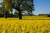 Field of flowering oilseed rape