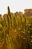 English wheat field