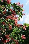 Fleischrote Rosskastanie auch Rotblühende Rosskastanie (Aesculus × carnea)