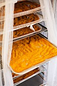 Sea buckthorn powder drying on trays in a rack