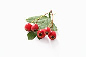 Hawthorn berries and leaf