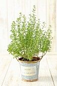 A savory plant in a flowerpot