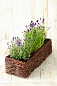 Flowering lavender in a window box