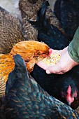 Chickens being fed