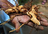 A hand holding a fresh ginger root