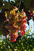 Rosé wine grapes on the vine in the sunshine