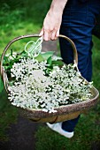A woman carrying a basket of elderflowers