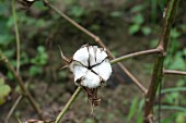 Cotton fields - close up on one cotton plant.