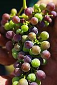 Ernte von unreifen Zweigelt-Trauben für die Herstellung von Verjus