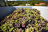 A harvest of unripe Zweigelt grapes for making verjuice